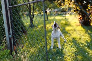 A barking dog behind a fence